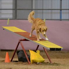 Ruby, a championed Nova Scotia Duck Tolling Retriever and certified Therapy dog.