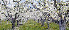 The beautiful apple trees