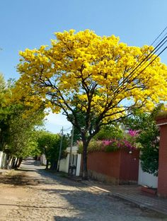 Lapacho .Asumción -Paraguay