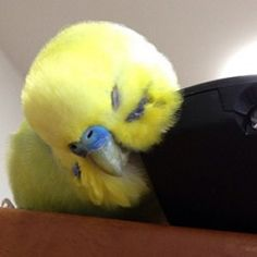 How to Take Care of a Budgie, Parakeet Baby Parakeets, Budgie Parakeet, Bird Pictures, Cute Pictures, Australian Parrots, Easy Bird, Cute Birds, Little Birds, Animales