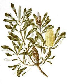 Australian Native Plants   Leonie Norton