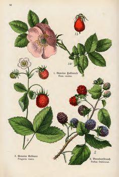 """From """"Bilder Atlas des Pflanzenreichs"""""""