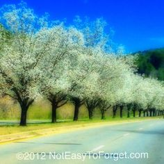 The pear trees are blooming in North GA!