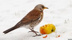 """Fieldfares (Turdus pilaris) are colourful members of the thrush family that flock to the UK countryside in October. Margaret Sweeny shot this wintering fieldfare at her local RSPB reserve in Scotland """"I was lucky as they had put out the apples and it wasn't long before a couple quickly came down to feed and guard the apples,"""" she said."""