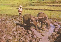 Ploughing  Water Buffalo  Yogyakarta Java  Indonesia Water Buffalo, Yogyakarta, Worlds Largest, Photograph, Rice, Asian, Ebay, Collection, Photography