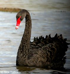 black swan - Hledat Googlem