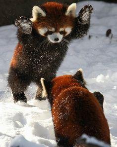 Osos pandas rojos jugando en la nieve.