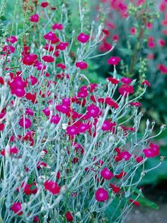 Rose campion is unforgettable in full bloom because of its abundant hot-pink flowers. But before it puts on its floral show -- and after the flowers fade -- its silvery-gray leaves are ornamental on their own. Note: Rose campion can self-seed abundantly; some gardeners find it a bit of a pest once it's established. Name: Lychnis coronaria Growing Conditions: Full sun and well-drained soil Plant Size: To 32 inches tall and 18 inches wide Zones: 4-8