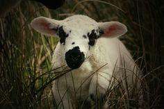 Spring lamb #yorkshire by RG