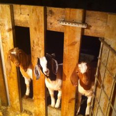 My baby boer goats waiting