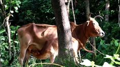 Common Natural Beauty of Bangladesh Village || Baby Cow Drinking Her Mother's Breastfeed Common Natural Beauty of Bangladesh Village || Baby Cow Drinking Her Mother's Breastfeed Bangladesh is a place of beautiful lands. It is a beautiful country with its natural attractive beauties. It is the country where you can engage with the beauty of both sea and hill. There are thousands of attractive natural tourist place in Bangladesh. But the beauty of village is more attractive. Bangladesh…