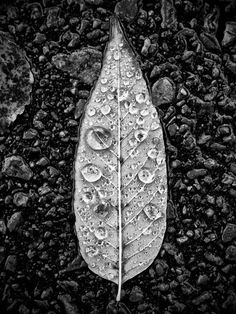 Leaf with Raindrops (PA237723)