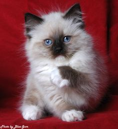 "ragdoll kitten. if we ever get a cat...this is what we'll get. my son says we will name him ""george washington"". perfect. haha."