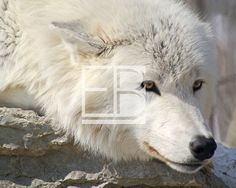 Photography  Pondering white wolf  8x10 by EBCardsandDesigns, $12.00