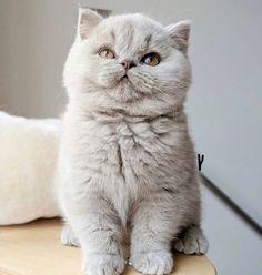 Cute Kittens, Fluffy Kittens, Cute Baby Cats, Cute Baby Animals, Persian Kittens, British Shorthair Kittens, Exotic Shorthair, Pretty Cats, Beautiful Cats