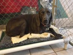 Bella is an adoptable Weimaraner Dog in Fayetteville, AR.  This is Bella. Bella is a 3 year old spayed female blue Weimaraner. Bella and her companion, Bristol, lost their home because a human baby ca...