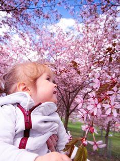 Roihuvuori, Helsinki. Spring. Cherryblossom.
