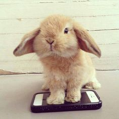 This bunny is beyond adorable! Mini Lop Bunnies, Cute Baby Bunnies, Funny Bunnies, Cute Baby Animals, Animals And Pets, Cute Babies, Funny Animals, Bunny Rabbits, Hamsters