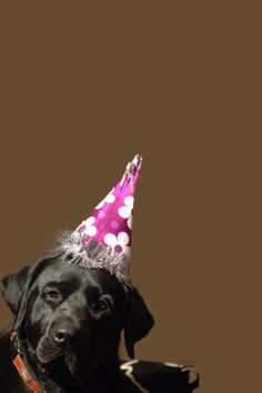 0a18c9d74 Birthday Boy Black Lab Puppies, Dogs And Puppies, Doggies, Black Labrador,  Black