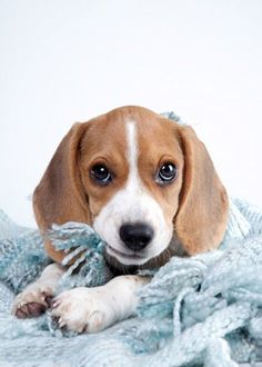 """Beagles: """"What do you mean I'm not supposed to chew on everything?"""""""