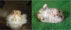hamsters - Veterinaria especializada en Tortugas y otros animales exoticos - Venta de Alimento Balancead y accesorios