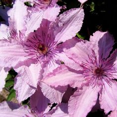 Clematis Hagley Hybrid - GardenExpert.ro