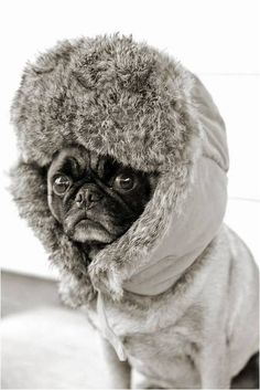 Russian pug?