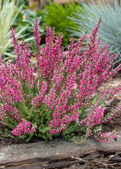 Vresy a ich pestovanie Flora, Home And Garden, Gardening, Landscape, Plants, Outdoor, Inspiration, Yard Ideas, Gardens