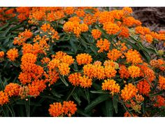 Orange Milkweed - Attracts Monarch butterflies (just like every other kind of milkweed)