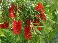 Callistemon salignus x viminalis 'Scarlet Willow' This graceful medium-large attractive shrub grows up to 2m in height and produces weeping red flowers in late winter, into spring/summer. It tolerates waterlogged and compacted soils and produces an excellent weeping form when mature. It also responds readily to pruning as needed. This [...]