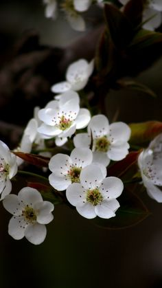 White, apple blossom, flowers, 720x1280 wallpaper