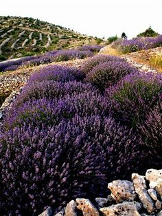 Lavender fields on Island Hvar, Croatia #LavenderFields