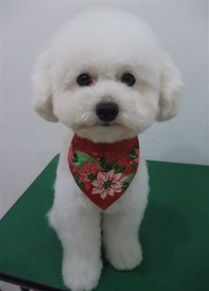 Toy Poodle Toy Poodle teddy bear cut cut toy poodle Christmas bandana trimming…