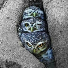 Three owls tryin' to get a little shuteye after a long nightshift!