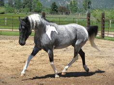 horse / beautiful blue roan Tobiano                              …                                                                                                                                                                                 Mehr