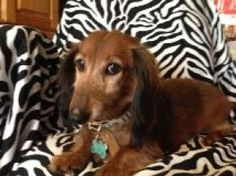 Siler FREE TO AN APPROVED HOME! is an adoptable Dachshund Dog in Atascadero, CA. SILER IS NOT HAPPY HERE! Hi my name is Siler, my rescue mom thinks I am about 6 to 7 years old even though my past mom ...