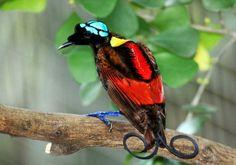 Diphyllodes respublica : Paradisier Républicain - Wilson's Bird of Paradise - ave del paraíso de Wilson - Wilsons paradijsvogel.