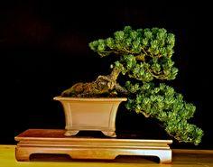 Pine Bonsai Gallery