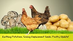 Earthing Potatoes, Sowing Replacement Seeds, Poultry Update!
