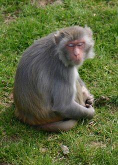 Macaque rhésus planète sauvage