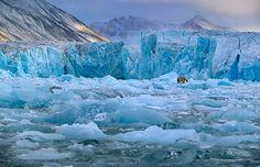 polar bears on glaciers | Arctic, Spitsbergen, polar bear on Monaco Glacier
