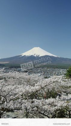 Cherry Blossom Time Near Mount Fuji In 4k Stock video, mt fuji and cherry blossom stock footage vo 100 get a 6 second mt fuji and cherry blossom stock footage at 23.98fps. 4k and hd vo ready for any nle immediately. chooseom a w range of similar scenes. vo clip id 1009919063. download footage now!, mt fuji and cherry blossom at sunset or sunrise 4k stock mt fuji and blooming sakura at sunrise or sunset 4k cherry blossom tree falling petals and mt fuji sakura cherry tree in blossom and mount