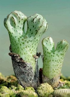 Amazing Unusual Plants To Grow In Your Garden Alien Plants, Weird Plants, Unusual Plants, Rare Plants, Exotic Plants, Cool Plants, Succulents In Containers, Cacti And Succulents, Planting Succulents