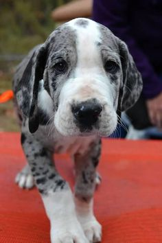 Awesome 120+ Great Dane https://meowlogy.com/2017/04/02/120-great-dane/ If you suspect your dog is experiencing bloat, get it to your vet after possible. Your dog may begin whining when you get started getting ready for wo...