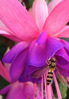 Bee in my Fuschia~ ♛