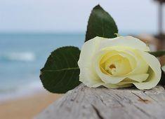 Beach Rose 2