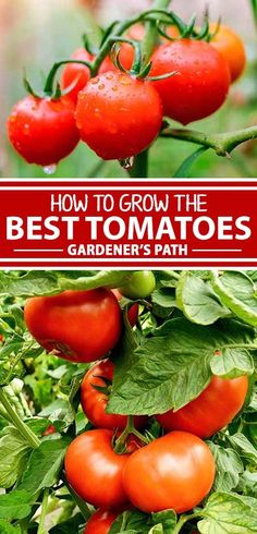 Tomatoes are among nature's greatest and most delicious gifts to the summertime dinner table, and this growing guide from Gardener's Path has all the insight and information you need to grow tasty red, yellow, and purple fruits that will surprise and delight your family, night after night. Read more now. #garden #tomatoes #vegetablegardening #homegrown