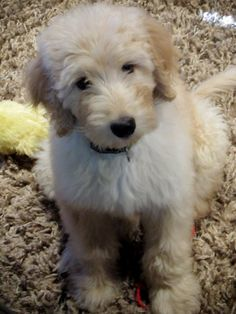 Labradoodle - love this little guy!!!