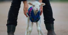 You'll Never Believe The State This Lamb Was In When They Found Her...