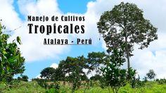 Manejo de Cultivos Tropicales Atalaya - Perú - TvAgro por Juan Gonzalo A...